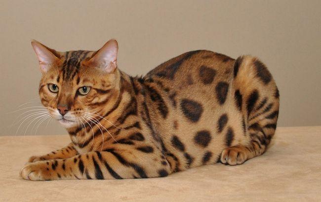 Bengálske plemeno mačka