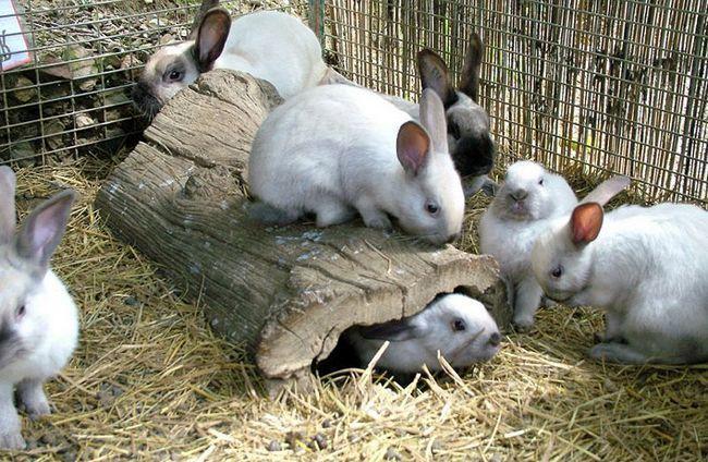 Zečevi stavlja u tor