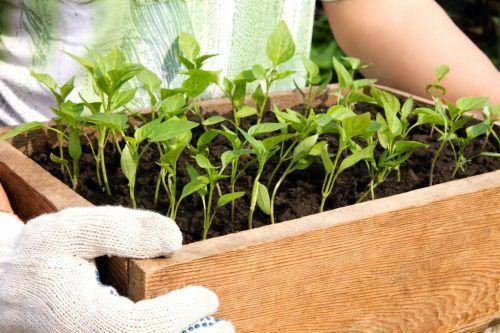 Hnojenie sadeníc pre papriky
