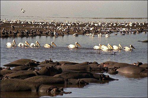 Africa. Flock hipopotam în apă. Un efectiv de pelicani. Foto, Foto