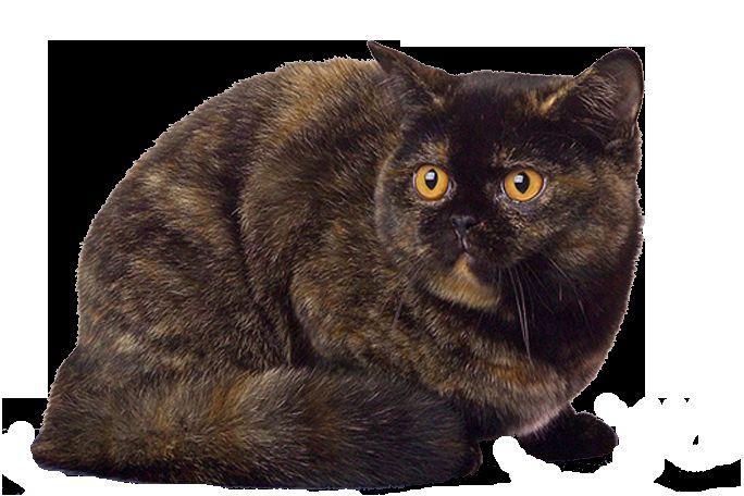 Британска котка черупки на костенурки