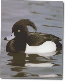Crested Duck slike
