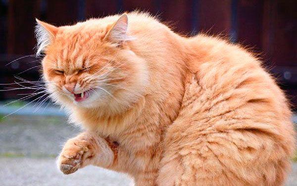 Strănută Housecat: trata corect