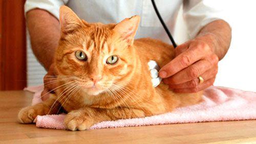 Liečba zápalu močového mechúra u mačiek