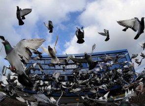 Ono što je trka među golubovima: Zanimljivosti