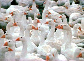 Divno Agidel: sve o ovoj vrsti pataka