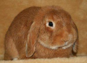 Distemper, viermi, pecingine și altele: iepuri de salvare împotriva bolilor periculoase