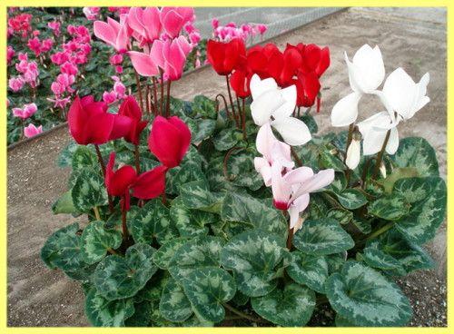 Cyklámen pestovania a starostlivosti