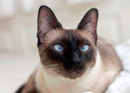Цвят на очите сиамски котки.