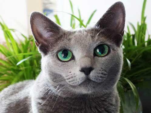 Ruská modrá farba mačacie oči