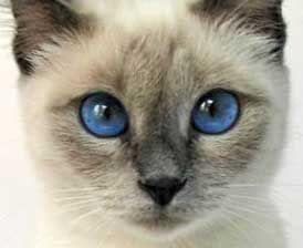 Farba siamské mačky oči