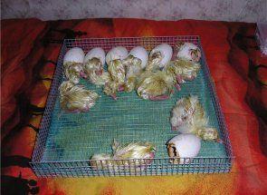 Pozrime sa, ako zobraziť húsatá v inkubátore
