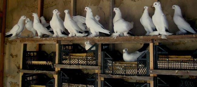 Fa-o casa pentru porumbei cu propriile sale mâini