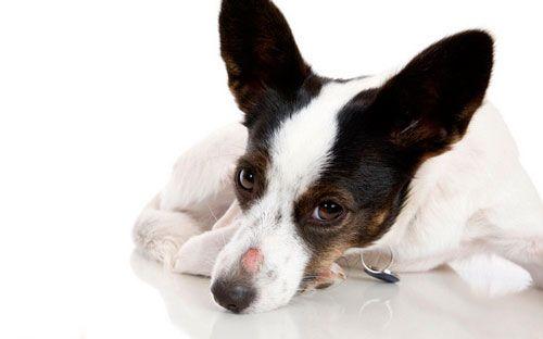 Krvotok bolesti kod pasa