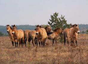 Copiii stepele mongole - calul Przewalski