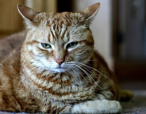 Proliv kod mačaka. Šta učiniti ako imate proliv?