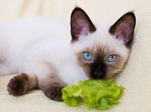 Диета за котки