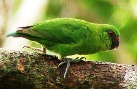 Papagali Dyatlov (genul micropsitta) finschii finshamicropsitta pitică papagal