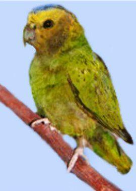 Papagali Dyatlov (genul micropsitta) pusio pitică papagal skleteramicropsitta
