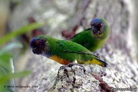 Papagali Dyatlov (genul micropsitta) geelvinkiana pitică papagal shlegelyamicropsitta