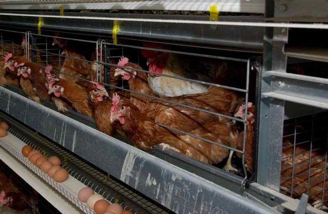 Cuprins în cuști găini