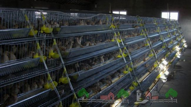 Foto Conținutul prepeliță în cuști