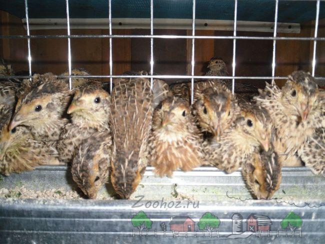 Fotografii de păsări într-o cușcă, care mănâncă din jgheabul