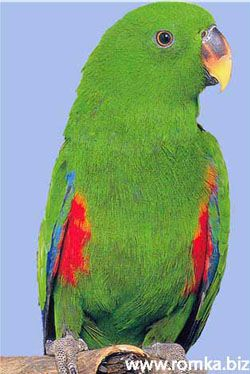 Două colorate sau nobil papagali popugairod (lorius)
