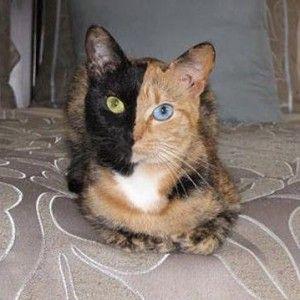 Двуличен котка