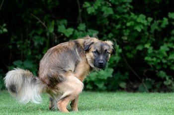 Problem dijareje kod pasa