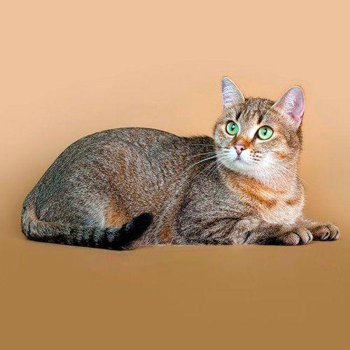 pisica domestica european, fotografii europene Shorthair cat