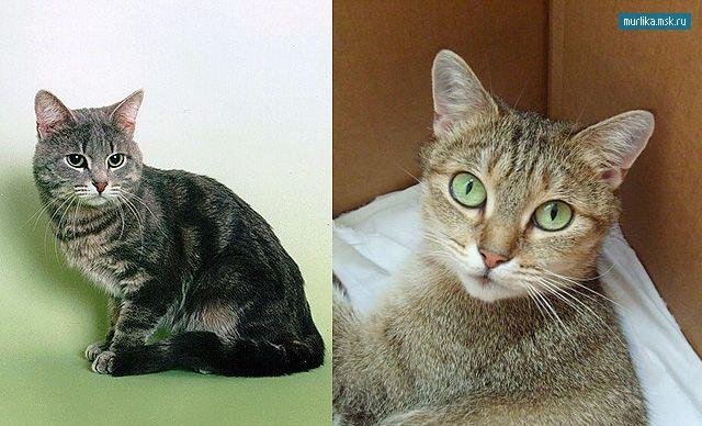 pisică pisică europeană, Shorthair European rasa
