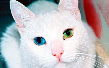 rase europene de pisici