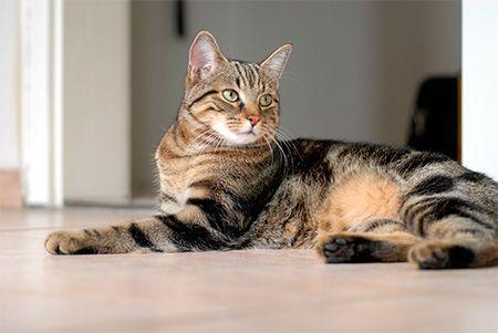 pisica Celtic