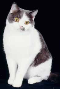 British Shorthair. Albastru si culoare alba