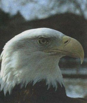 Снимка 1 орел, орел рибар, белоопашат орел