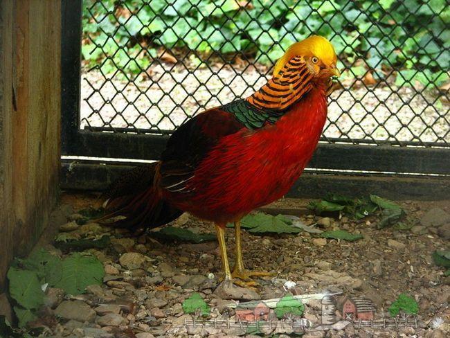 Royal fazan în spatele unei grile