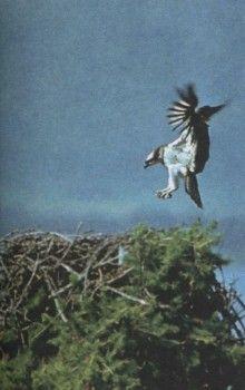 Фото 4 орли, орел рибар, белоопашат орел