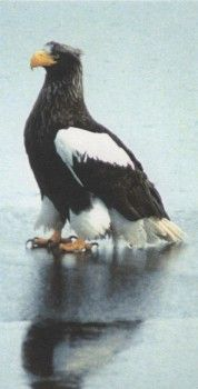 Фото 2 орли, орел рибар, белоопашат орел