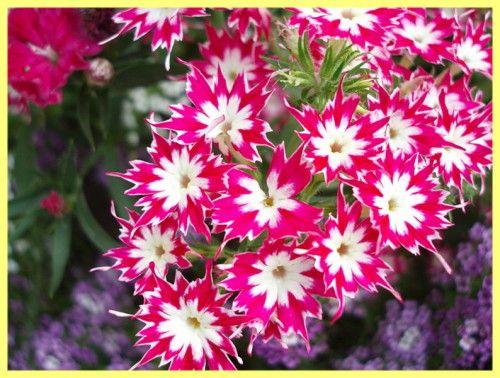 Phlox višegodišnje sadnju i Foto njegu