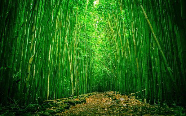 grove Bamboo. Foto, plante imagine fotografie