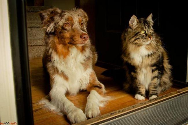 Austrálsky ovčiak pes a mačka, pes a mačka .. foto