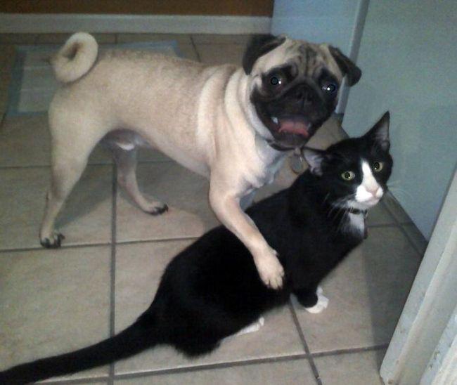 Ako mačka s ... Zaujímavý o psoch. Tagy. Pes a mačka priateľstvo
