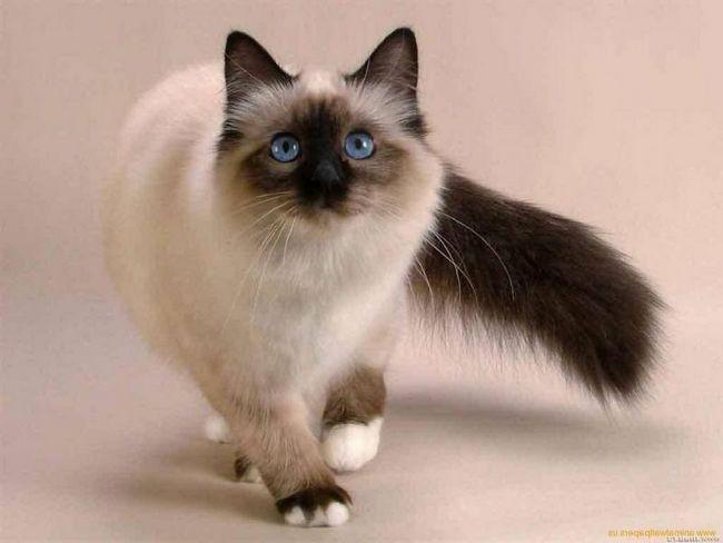 A venit în America, iar pisica siameza este cel mai ..