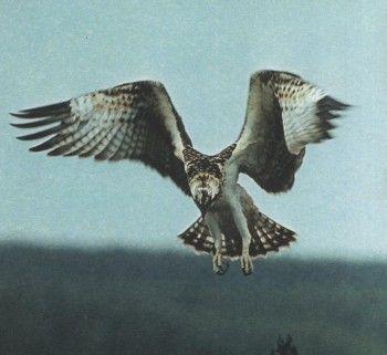 Снимки 5 орли, орел рибар, белоопашат орел