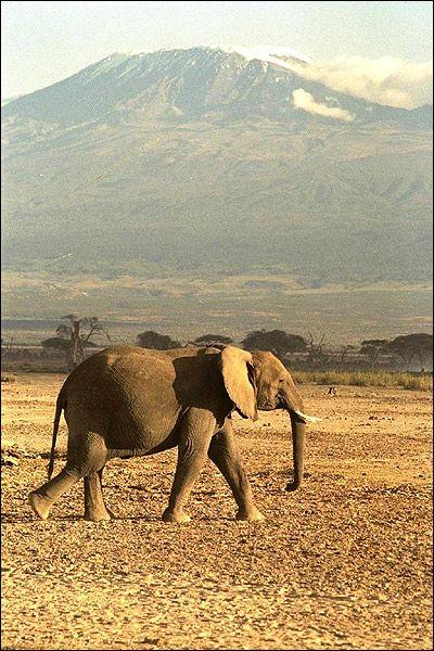 elefant african (Loxodonta african). Foto, Foto