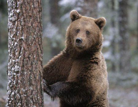 Locuite de urs brun