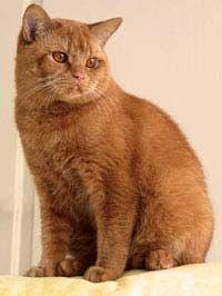 Britská mačka červená farba