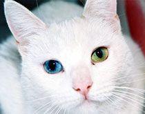 Heterochrómii mačacie oči. fotografie