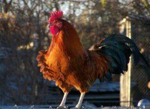 Divovi u svijetu piletina